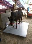 新郑市1.5x2m小地磅2吨称牛地泵厂家