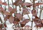 河南红枫种苗冬红北海道黄杨(雪中红)